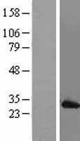 NBL1-12786 - Mad2L1 Lysate