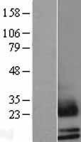NBL1-15734 - Mammaglobin B Lysate