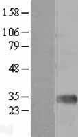NBL1-12927 - Mannan Binding Lectin Lysate