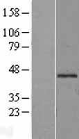 NBL1-13200 - Mannose Phosphate Isomerase Lysate