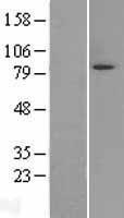 NBL1-12899 - Mark3 Lysate