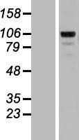 NBL1-12915 - Matrilin 2 Lysate