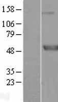 NBL1-13005 - Meis homeobox 3 Lysate