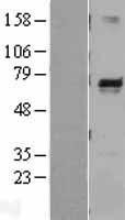 NBL1-13139 - Melanophilin Lysate
