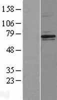 NBL1-13605 - Neurofibromin 2 Lysate