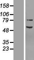 NBL1-13606 - Neurofibromin 2 Lysate