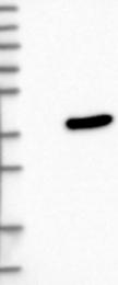 NBP1-90944 - Proenkephalin-A (PENK)
