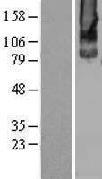 NBL1-11347 - Metabotropic Glutamate Receptor 2 Lysate