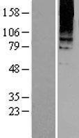 NBL1-11352 - Metabotropic Glutamate Receptor 8 Lysate