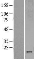 NBL1-13350 - Metallothionein-3 Lysate