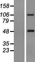 NBL1-13388 - Metaxin 1 Lysate