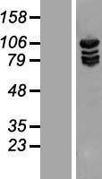 NBL1-12901 - Methionyl tRNA synthetase Lysate