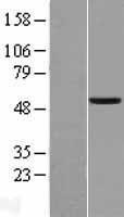 NBL1-13118 - MiTF Lysate