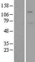 NBL1-13097 - Mib1/Mindbomb Lysate