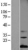 NBL1-12968 - Midkine Lysate