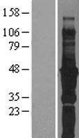 NBL1-10608 - FBLIM1 Lysate
