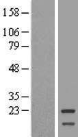 NBL1-13234 - Mitochondrial ribosomal protein L11 Lysate