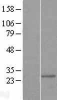 NBL1-13368 - MTIF3 Lysate