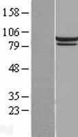 NBL1-11979 - Mitofilin Lysate