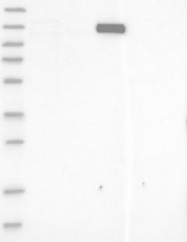 NBP1-88498 - Myocardin-Like Protein 1