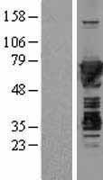 NBL1-13334 - Moesin Lysate