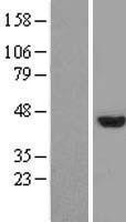 NBL1-13129 - Mohawk homeobox Lysate