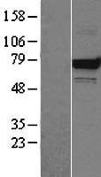 NBL1-11756 - Grp75 Lysate