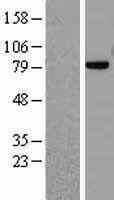 NBL1-13219 - Mre11 Lysate