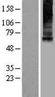 NBL1-12958 - Mucolipin 1 Lysate