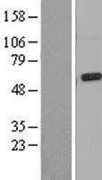 NBL1-12960 - Mucolipin 3 Lysate