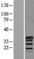 NBL1-13329 - Musashi 2 Lysate