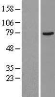 NBL1-09175 - Muscarinic Acetylcholine Receptor M3 Lysate