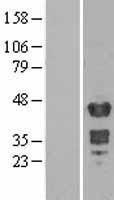 NBL1-12929 - Muscleblind-like 1 Lysate