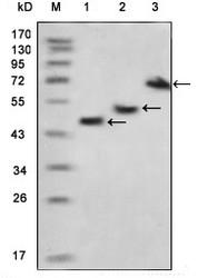 NBP1-51545 - Myelin Basic Protein