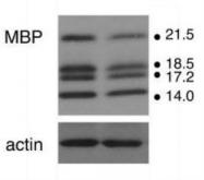 NB600-717 - Myelin Basic Protein