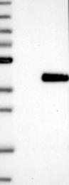 NBP1-89980 - Myogenin