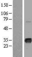 NBL1-13444 - Myogenin Lysate