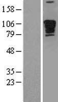 NBL1-14224 - Myomegalin Lysate