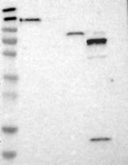 NBP1-87739 - Myosin-Ib