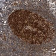 NBP1-92158 - Myosin-Ie