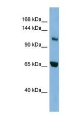 NBP1-53151 - Myosin-Ie