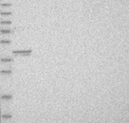 NBP1-87750 - PPP1R12B / MYPT2