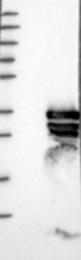 NBP1-87751 - PPP1R12B / MYPT2