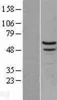 NBL1-13445 - Myotilin Lysate