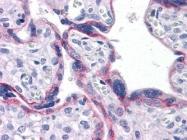 NBP1-51612 - Cadherin-2