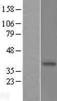 NBL1-13690 - N myc interactor Lysate