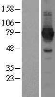 NBL1-13457 - NAD Synthetase Lysate