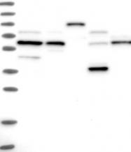 NBP1-92163 - APPBP1