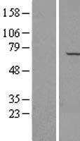NBL1-13459 - NAE1 Lysate