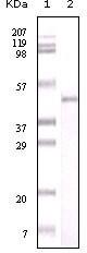 NBP1-47361 - Visfatin / NAMPT